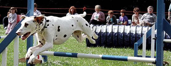 Athletic Dalmatian