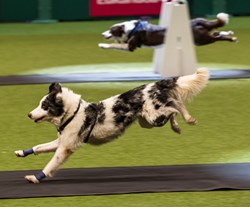 Flyball Dog Competition