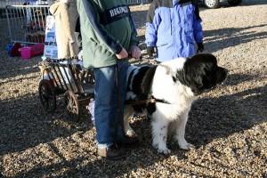 newfoundland dog at elveden