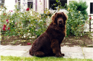 Newfoundland Dog Breed image