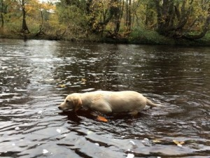 Oscar the Gun Dog in the River
