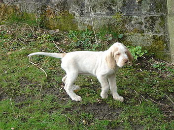 Spinone Puppy