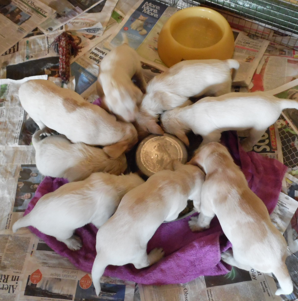 chandhally spinone puppies