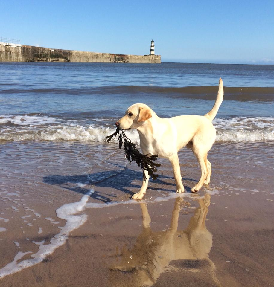 Gundog at the seaside
