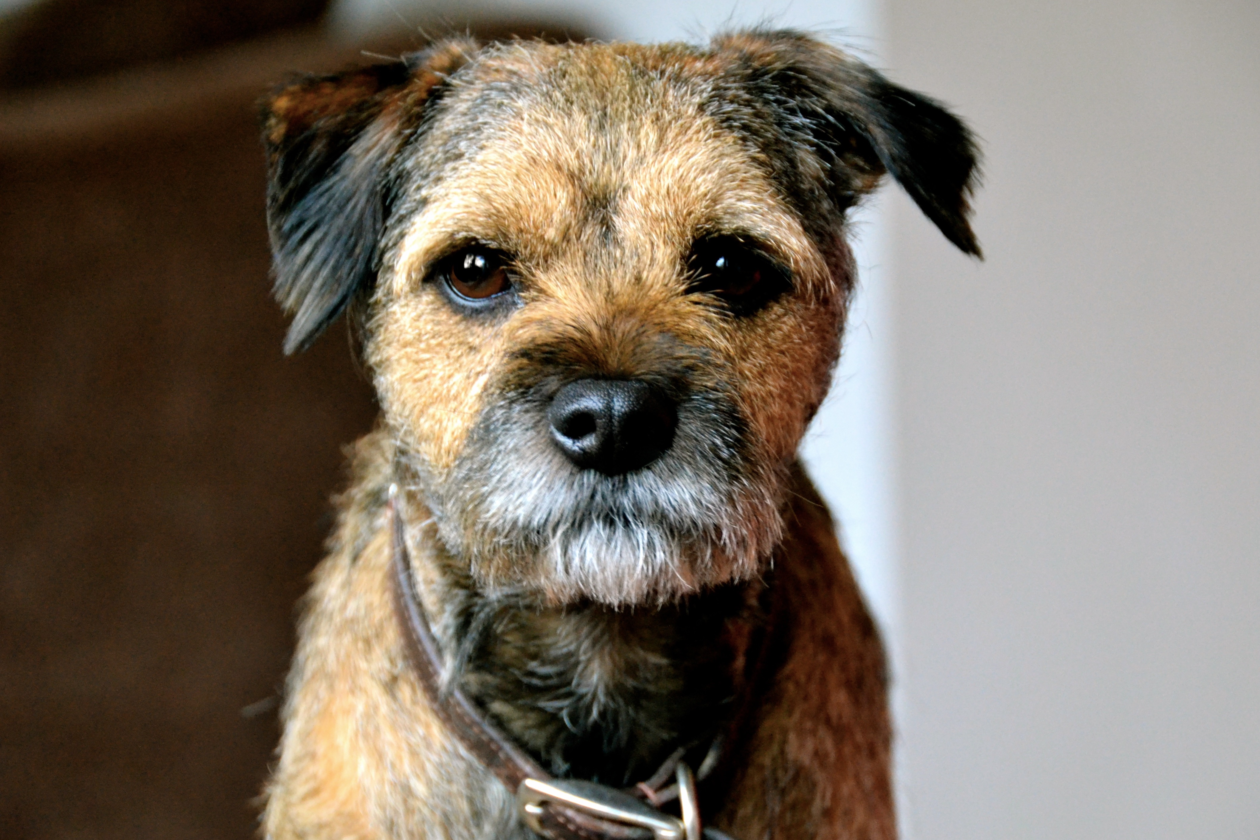 Dog Breed Profile - Border Terrier | Gilbertson & Page