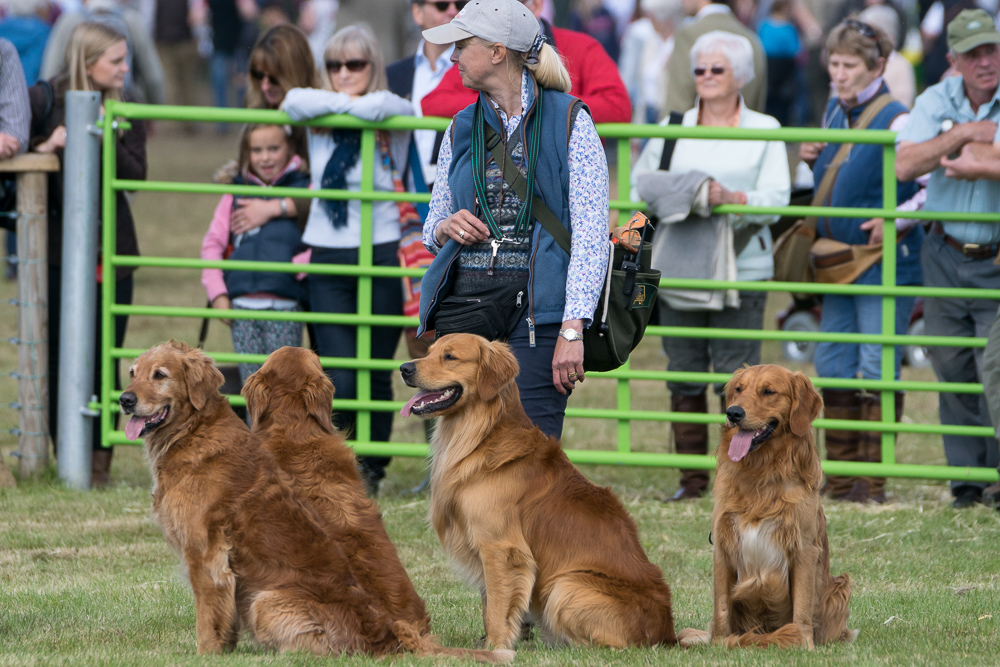 Golden Retrievers at Game Fair
