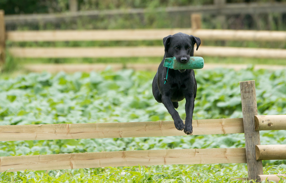 Retriever Dog Training