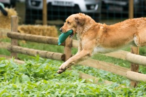 Labrador Retrieving