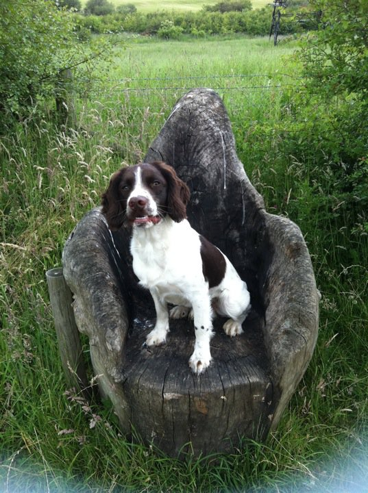 breed profile english springer spaniel gilbertson and page dog
