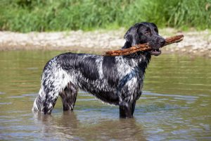 large munsterlander dog