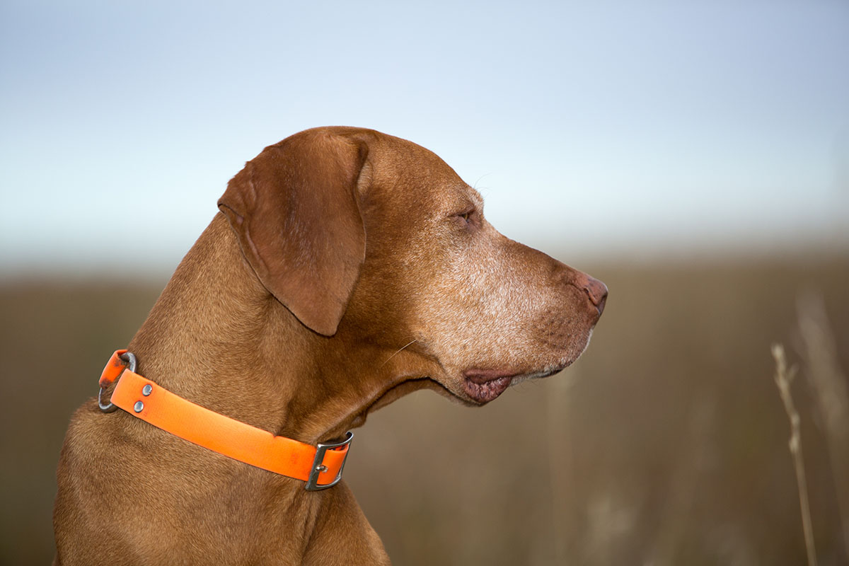 What Are Vizsla Dogs Like