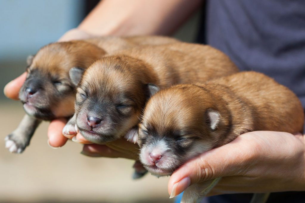 Pomeranian Dog Puppies