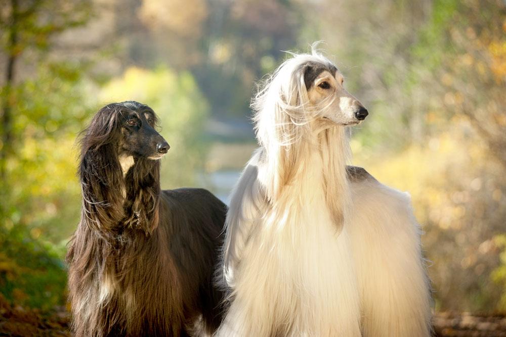 2 Afghan Hounds