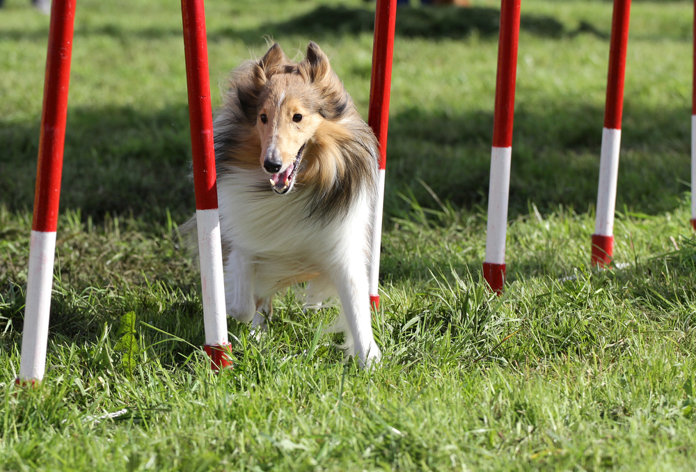 Sheltie dog at agility classes