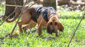 Image of Bloodhound dog tracking