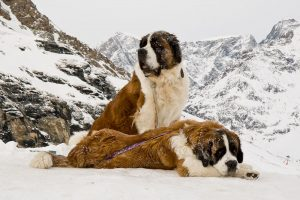 Pair of St Bernard Dogs