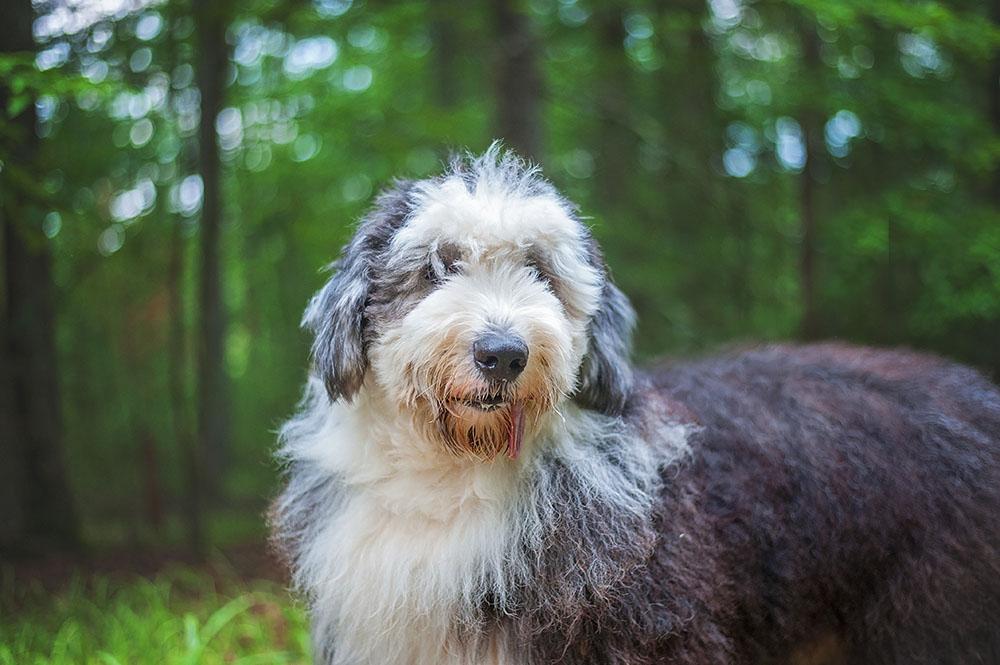 old english sheepdog image