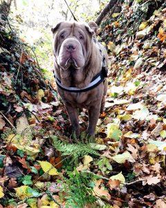 Shar Pei image courtesy of Ruth Neil.