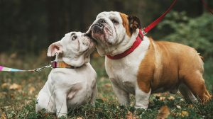bulldog adult and puppy