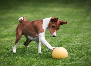 Basenji Breed Guide Image