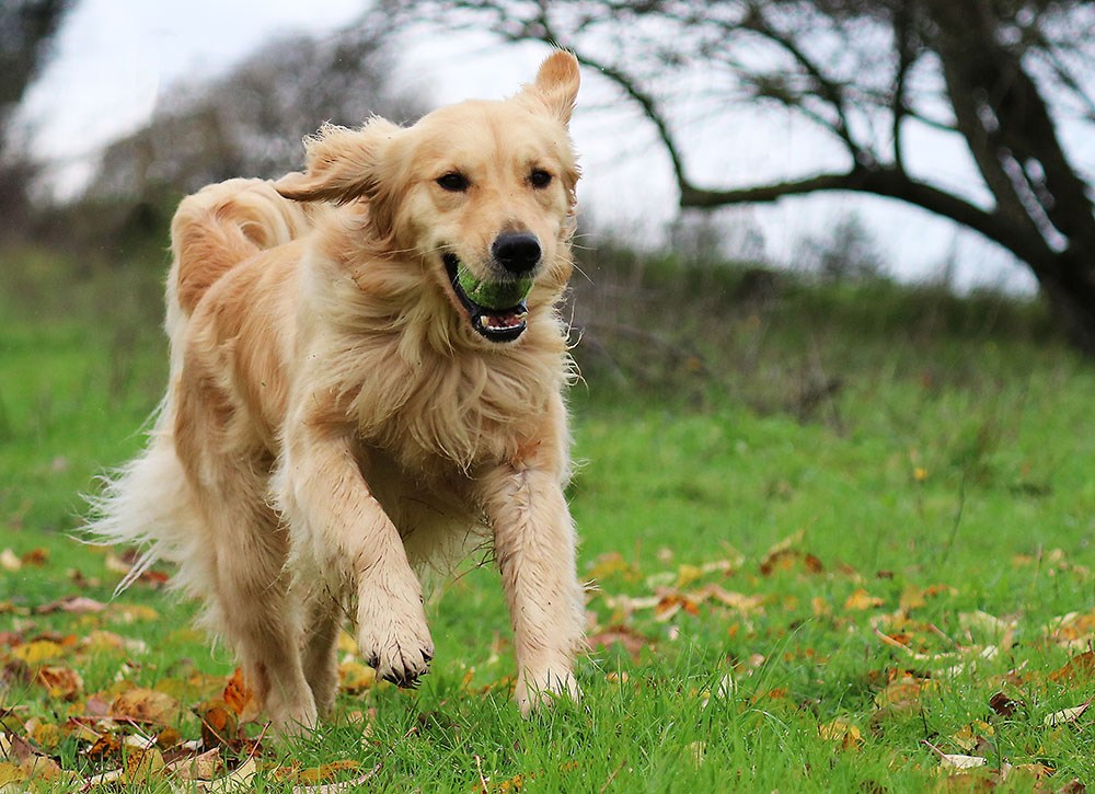 breed profile golden retriever gilbertson and page dog cat