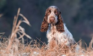 English Cocker Spaniel Image