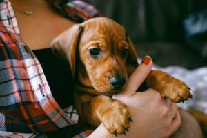 image of dachshund puppy