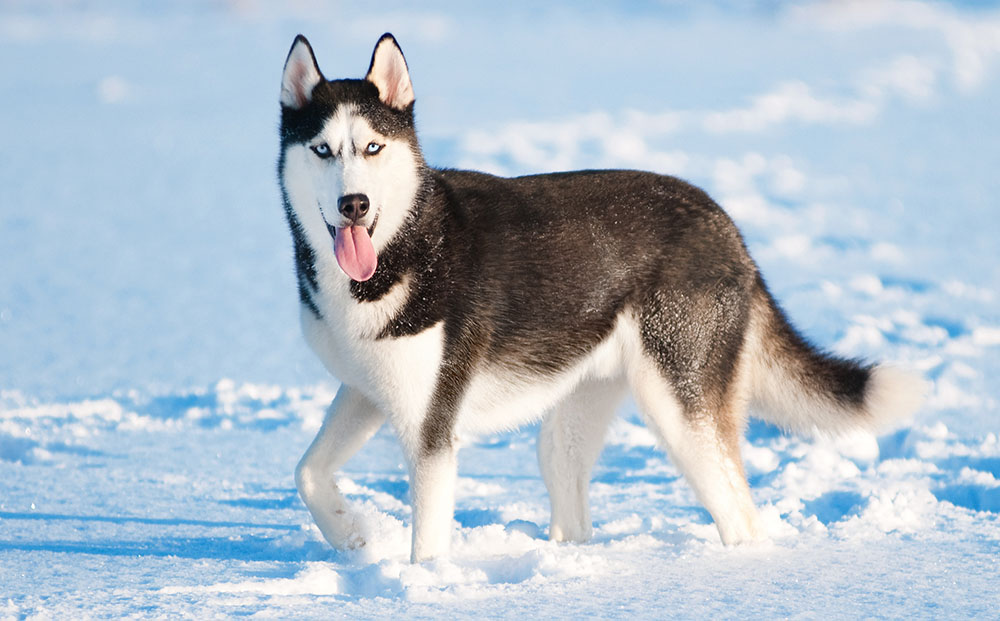 siberian husky breed guide