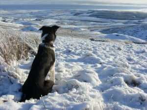 Search and rescue dogs - Sam viewing Teesdale