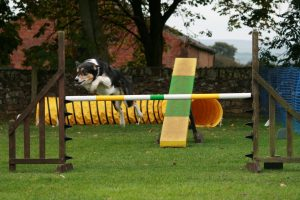 Search and Rescue Dog Sam having fun at agility