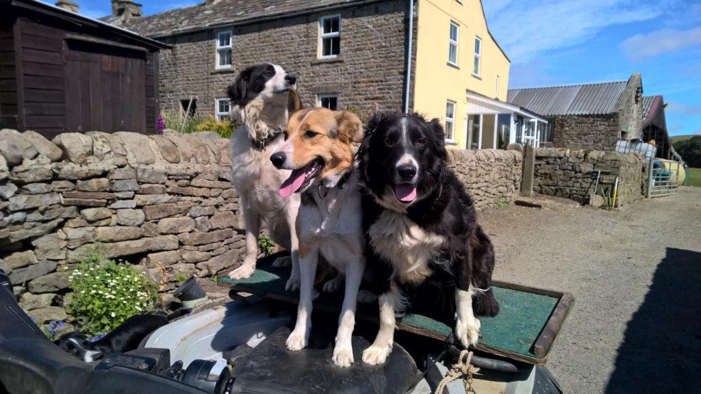 Weardale Sheepdogs